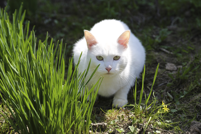 Image of a white cat peeping out from some grass