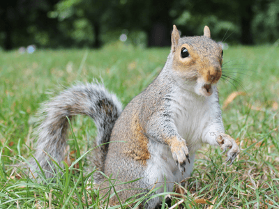 An alarmed squirrel