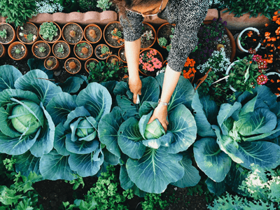 This is an image of a gardener tending to cabbages
