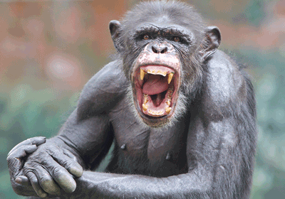 Image of a chimp