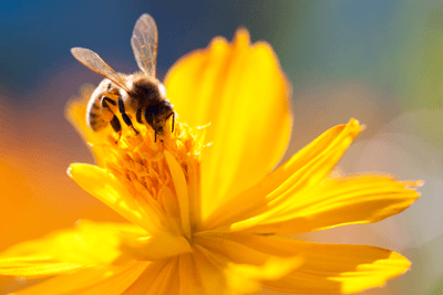 Image of a bee on a yellow flower