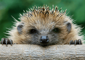 Hedgehog looking over a log